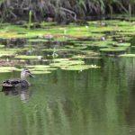 DSC_5251_gymea_retreat_duck_on_the_pond